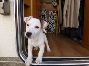 dog in camper