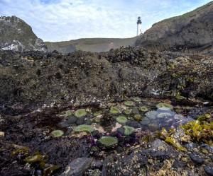 yaquina tide pools